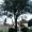 Baumfällung Zeder